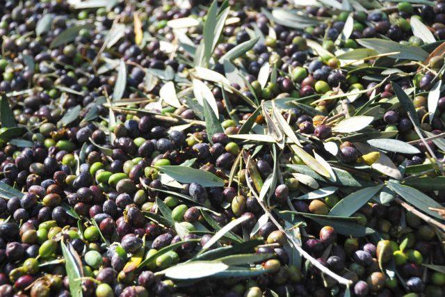 Olive Viterbo