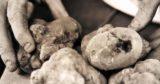 La festa del tartufo bianco dei Colli Bolognesi è a Savigno per tre weekend