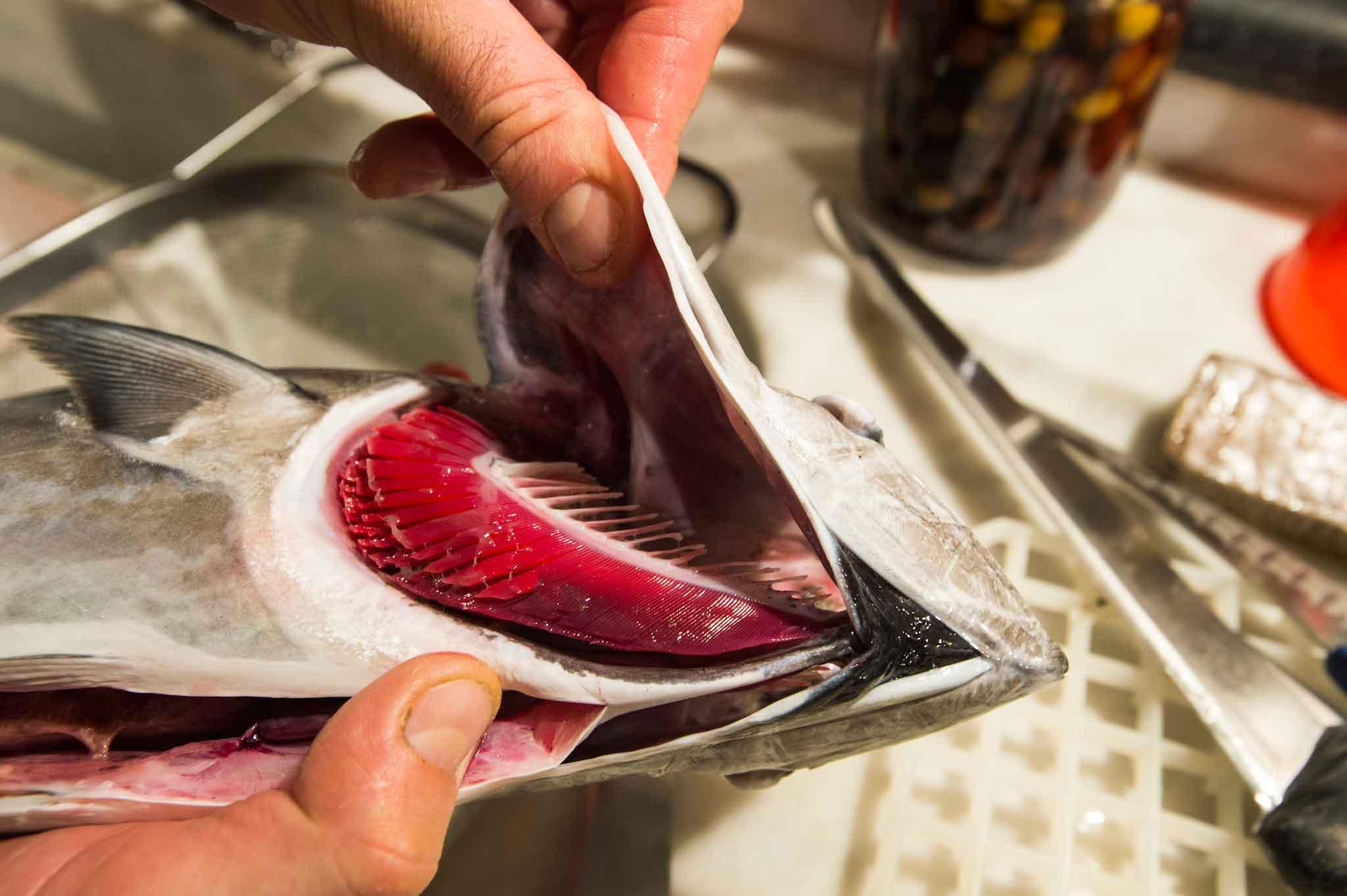 Come comprare il pesce fresco e riconoscere una buona for Quanto vive un pesce rosso