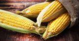 Il mais OGM non è dannoso per la salute, anzi. Uno studio italiano lo dimostra