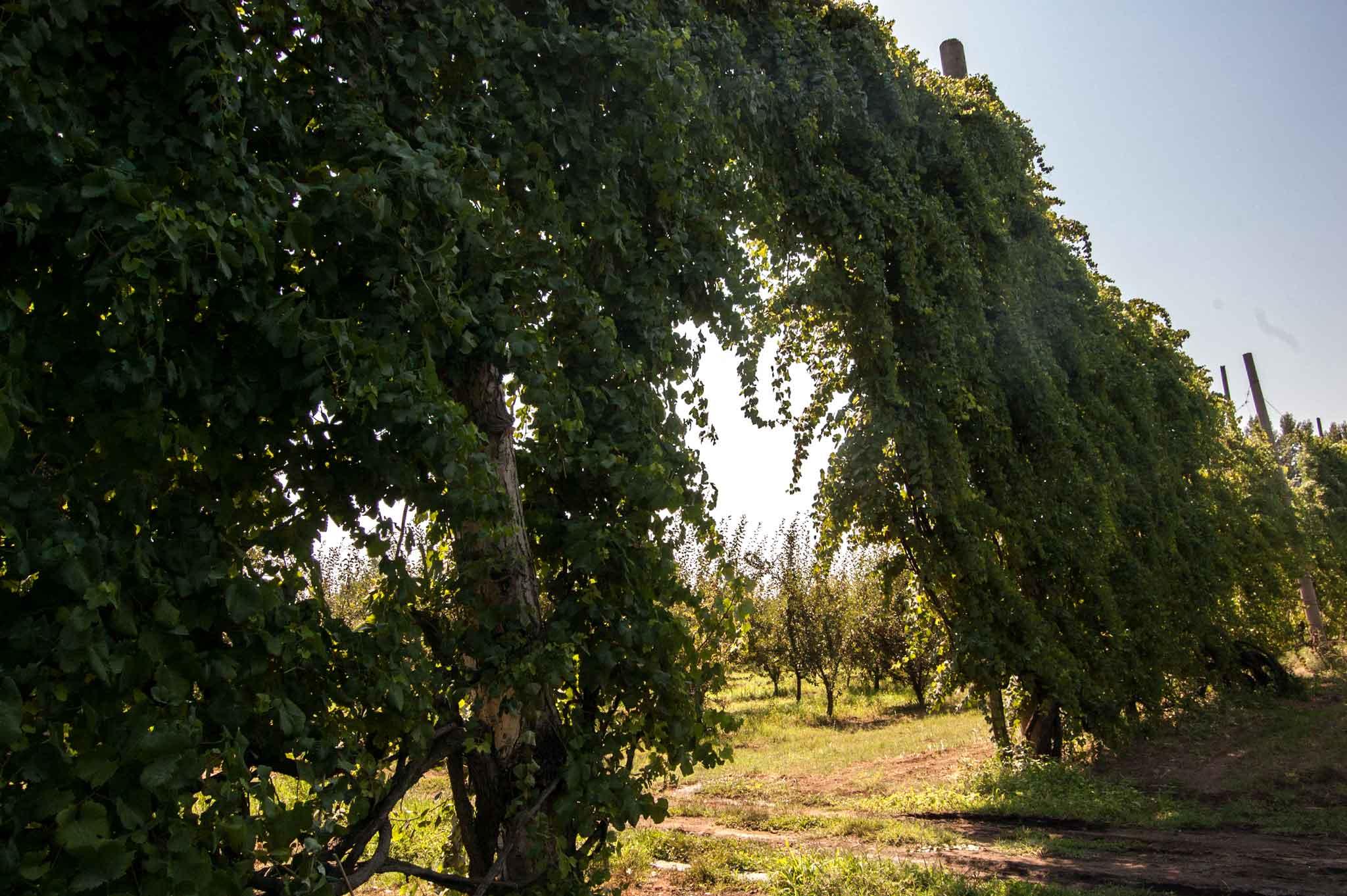 alberata aversana, la vigna di asprinio tipica di Aversa