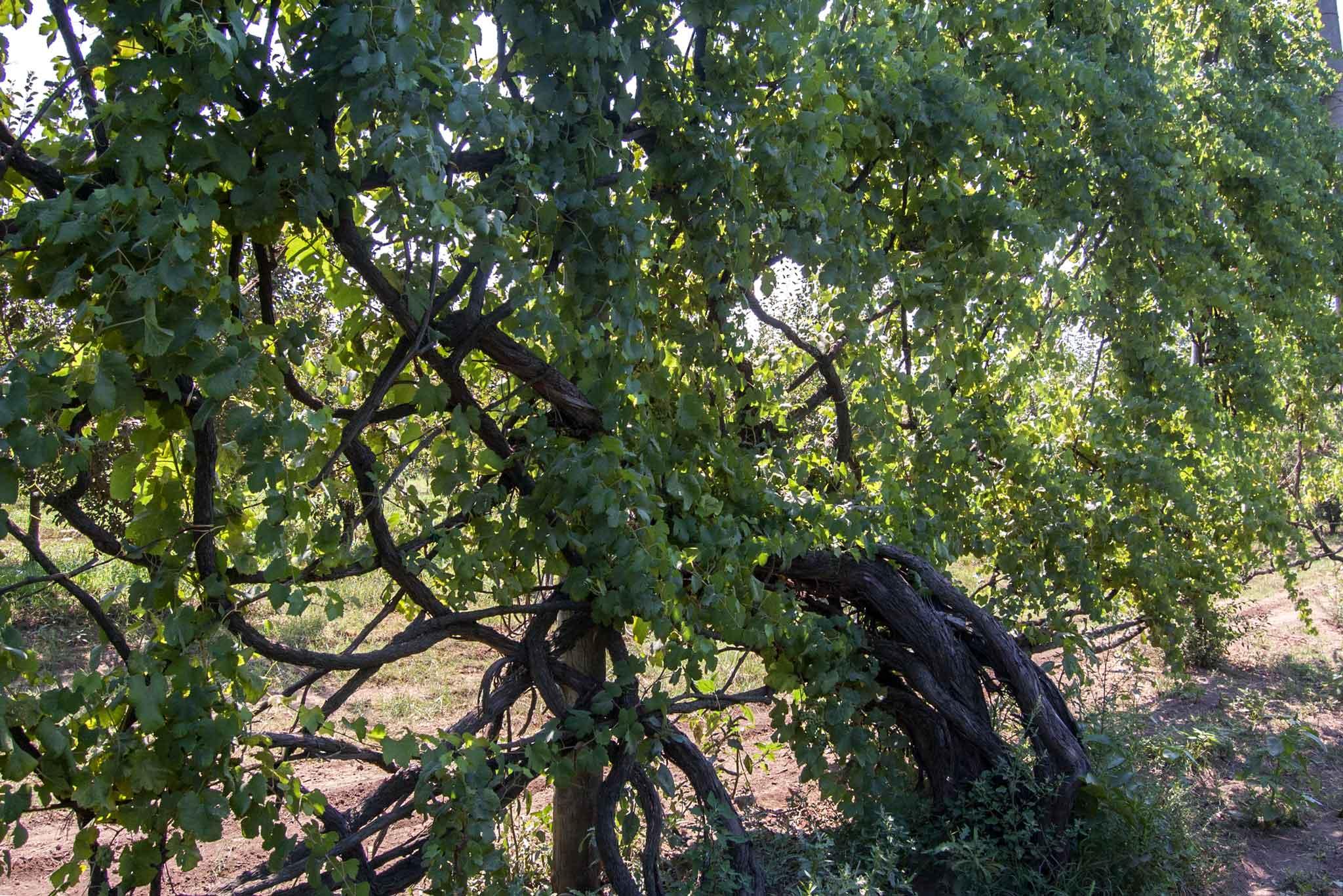 il tronco di una vite madre di asprinio, di circa 200 anni