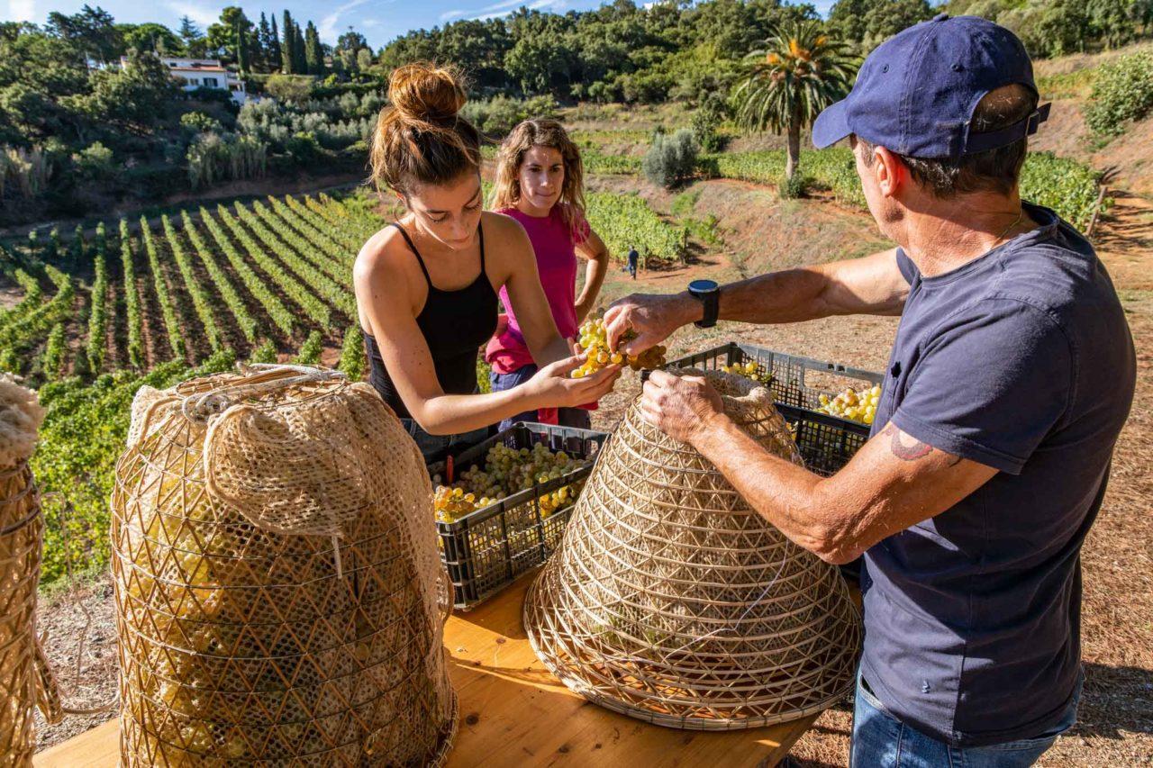 preparazione delle uve per la produzione del bianco dell'isola d'Elba