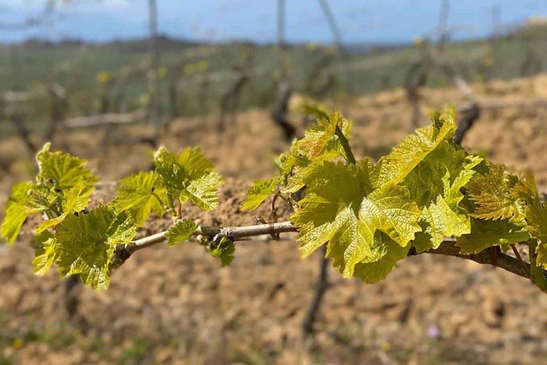 vite vini naturali