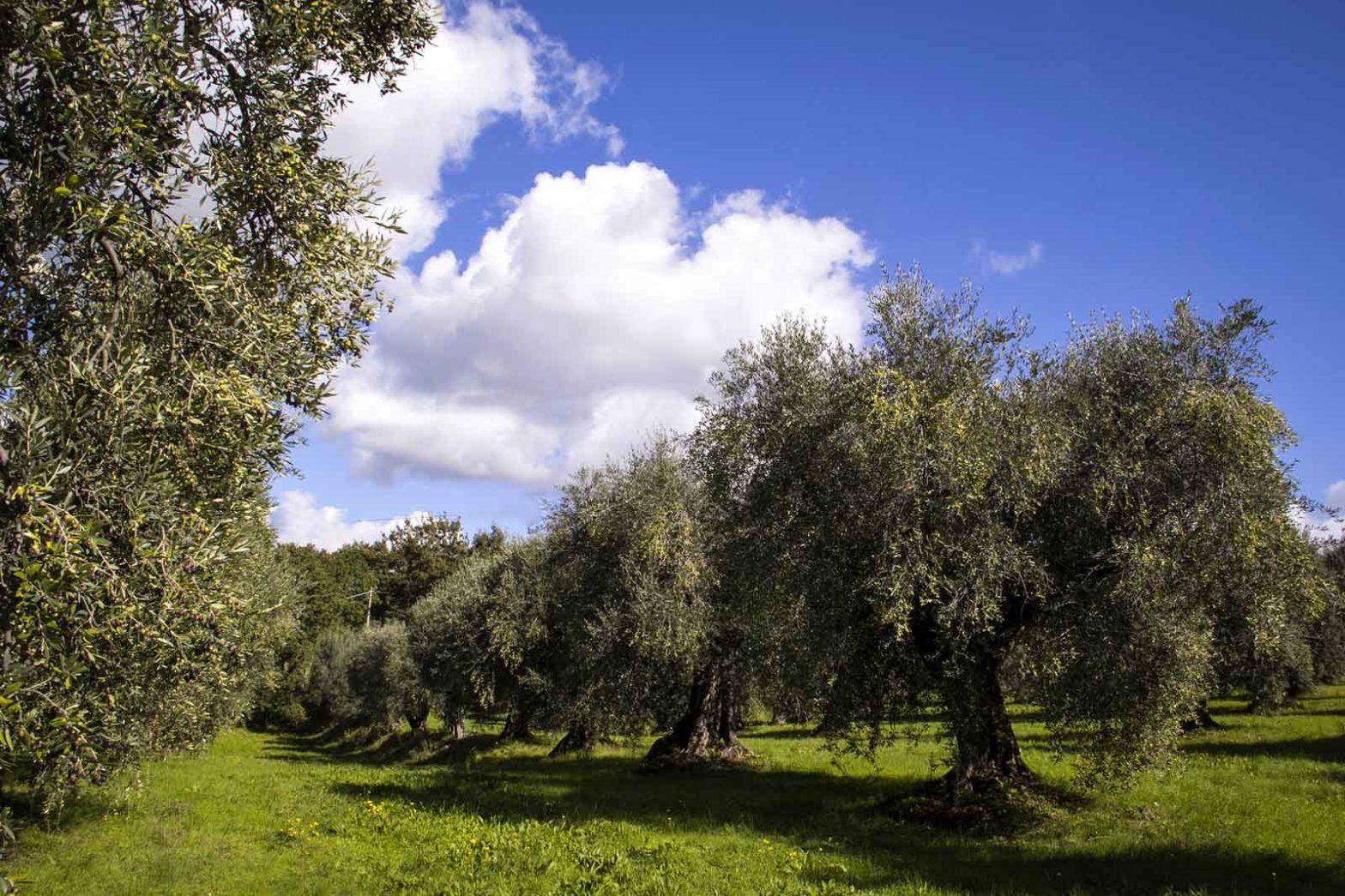 ulivi olio extravergine di oliva