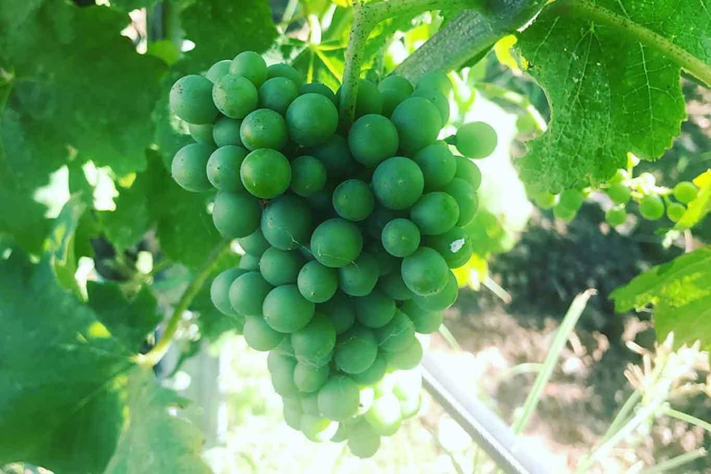 uva per vino