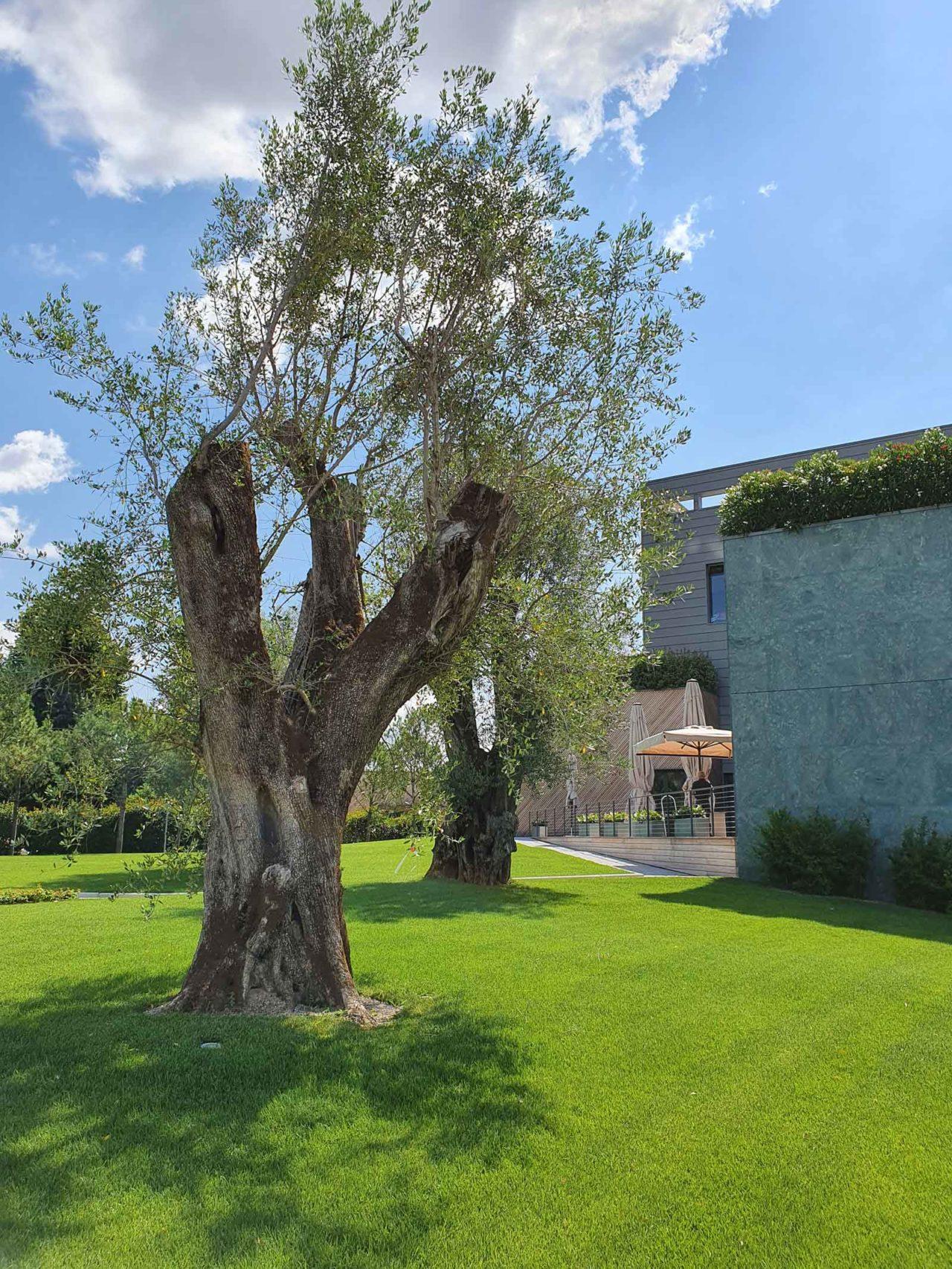 ulivo secolare giardino
