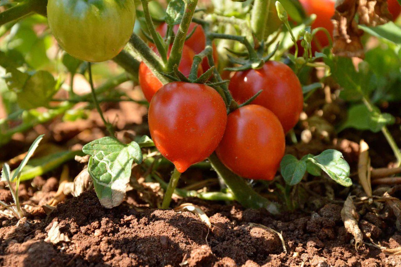 pomodorini Fiaschetto di Torre Guaceto pianta