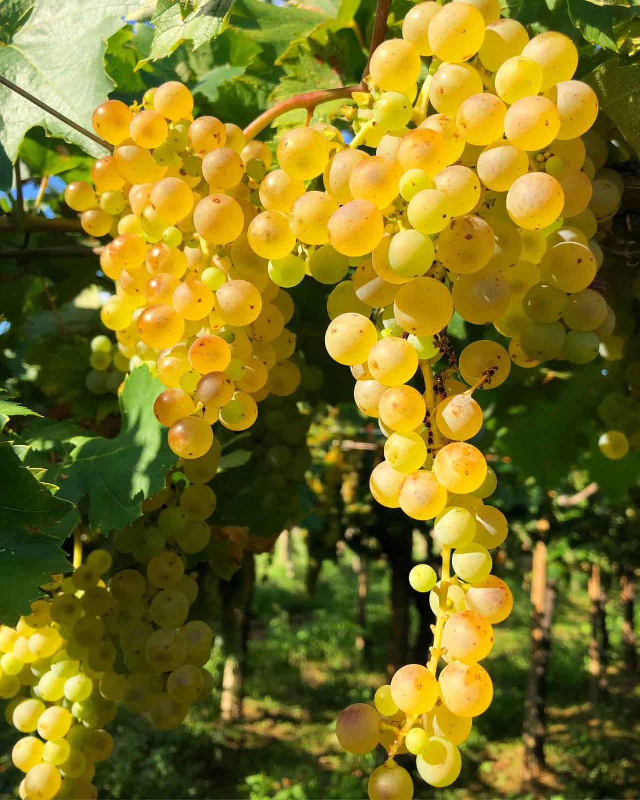 Moscato bianco eccellente vino di Tenute Martarosa il Molise esiste