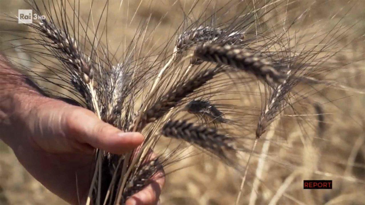 spiga grano Senatore Cappelli