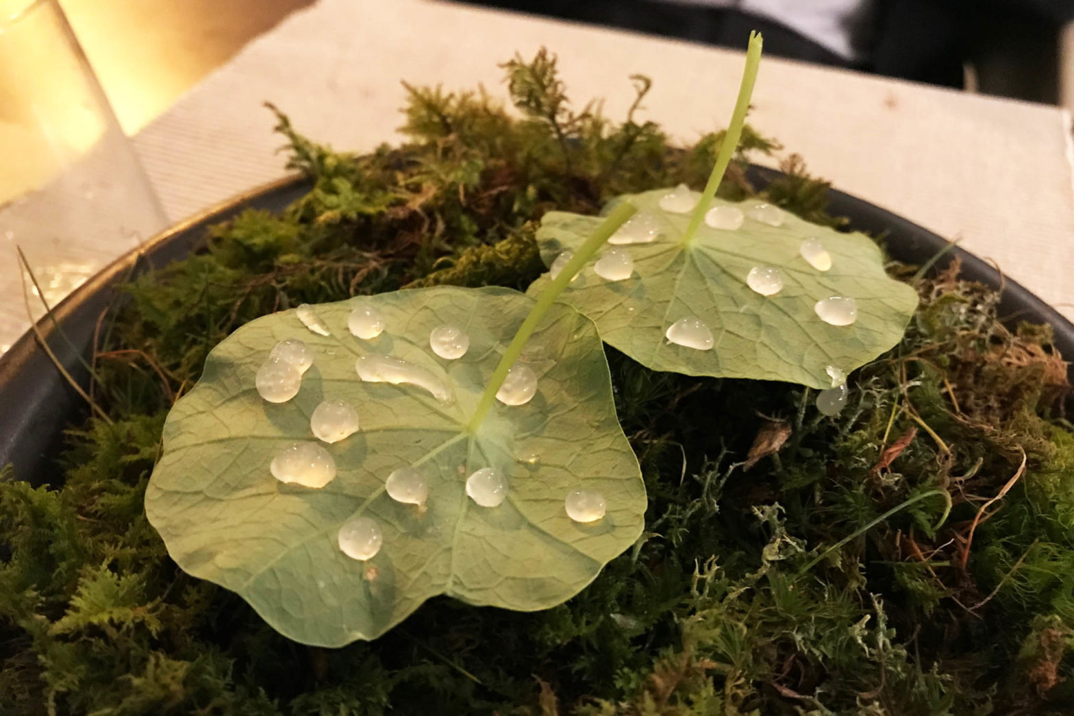 wild food Radici rabarbaro verde gocce su foglie di nasturzio