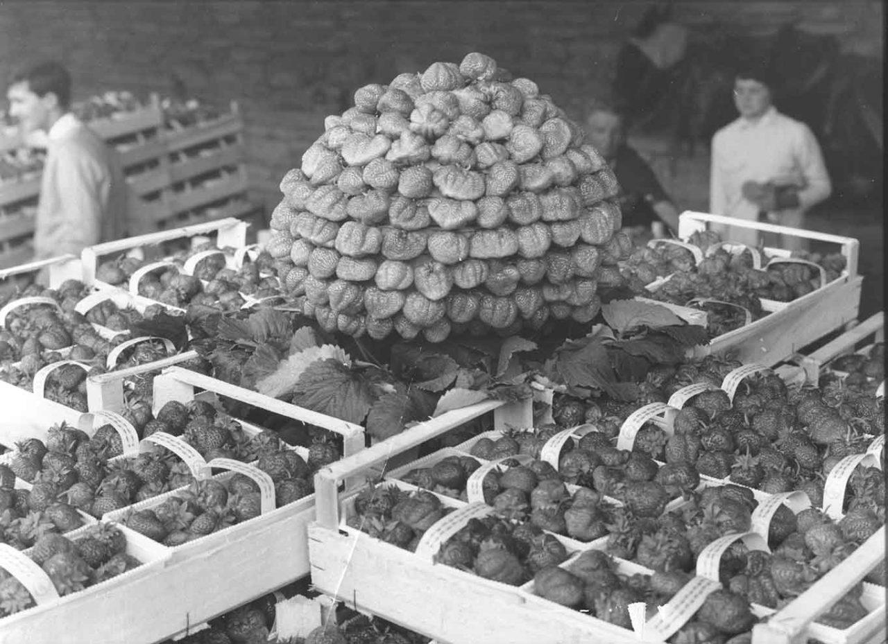 fragole di Sommariva Perno immagine storica