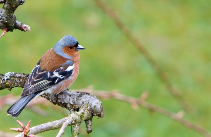 fringuello uccellini protetti