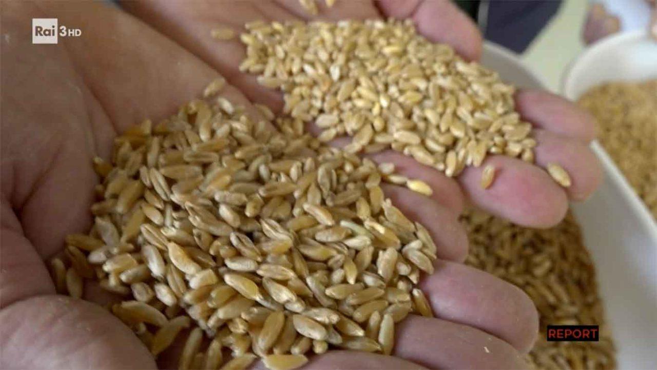 grano Khorasan Kamut e grano normale