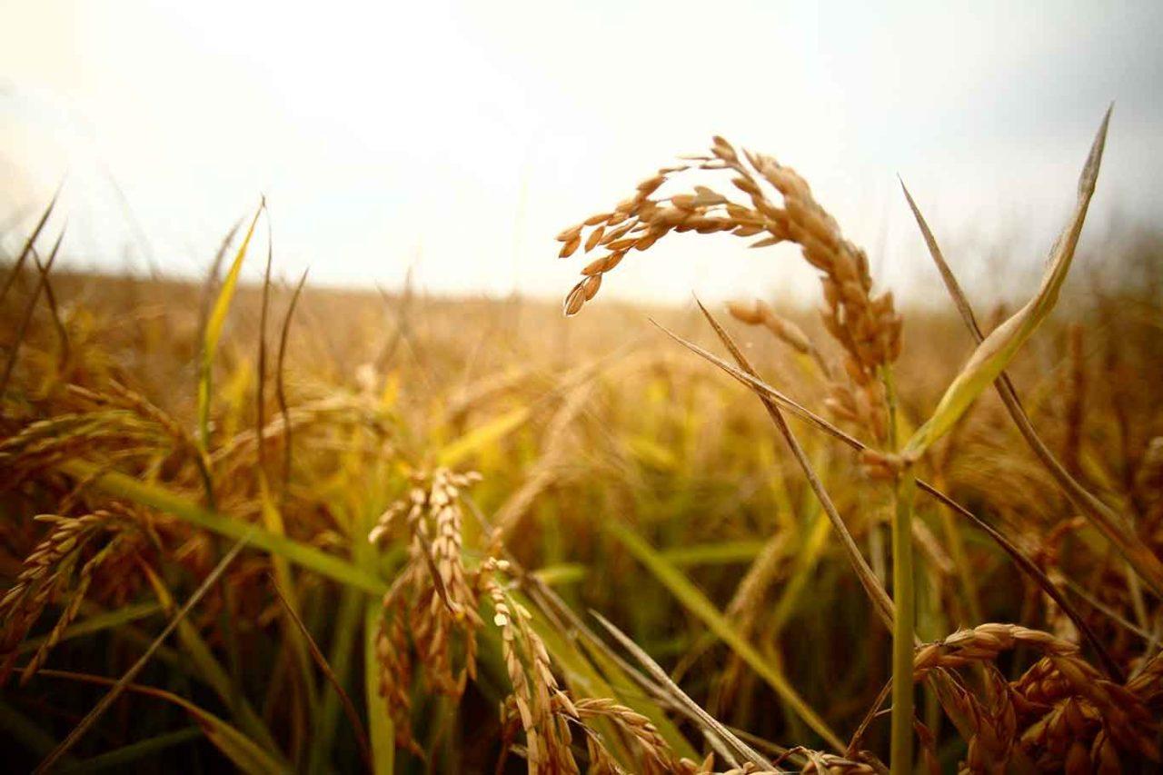 riso per insalata di riso perfetta