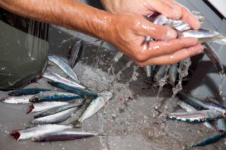 tipi di pesce di superficie: alici di menaica