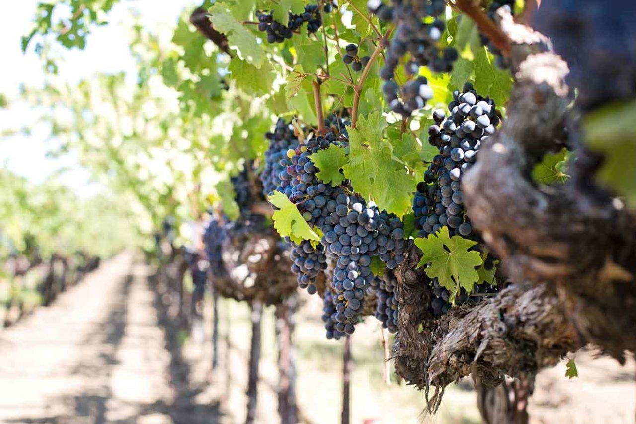 grappoli di uva nera in maturazione